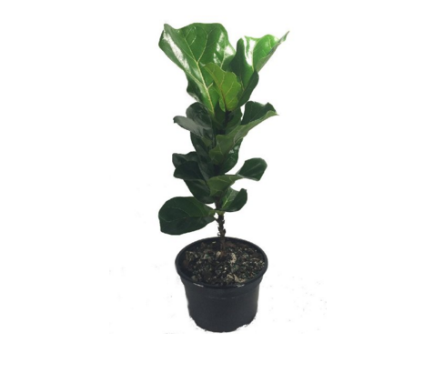 fiddle leaf fig, amazon, indoor plant