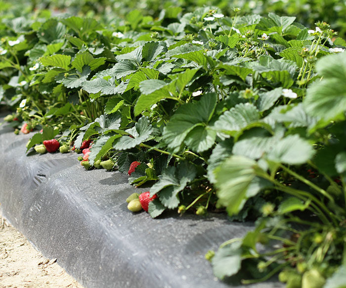 Where to pick strawberries in North Carolina.