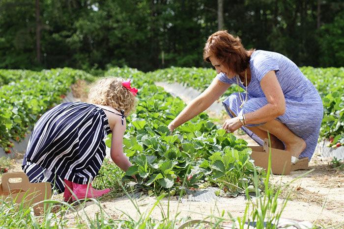Where to pick strawberries in North Carolina.